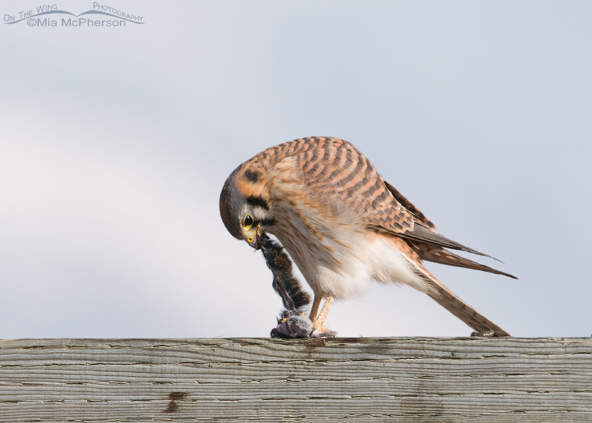 Female American Kestrel stretching our her prey