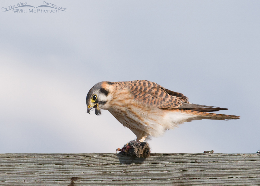 American Kestrel and her fuzzy beak