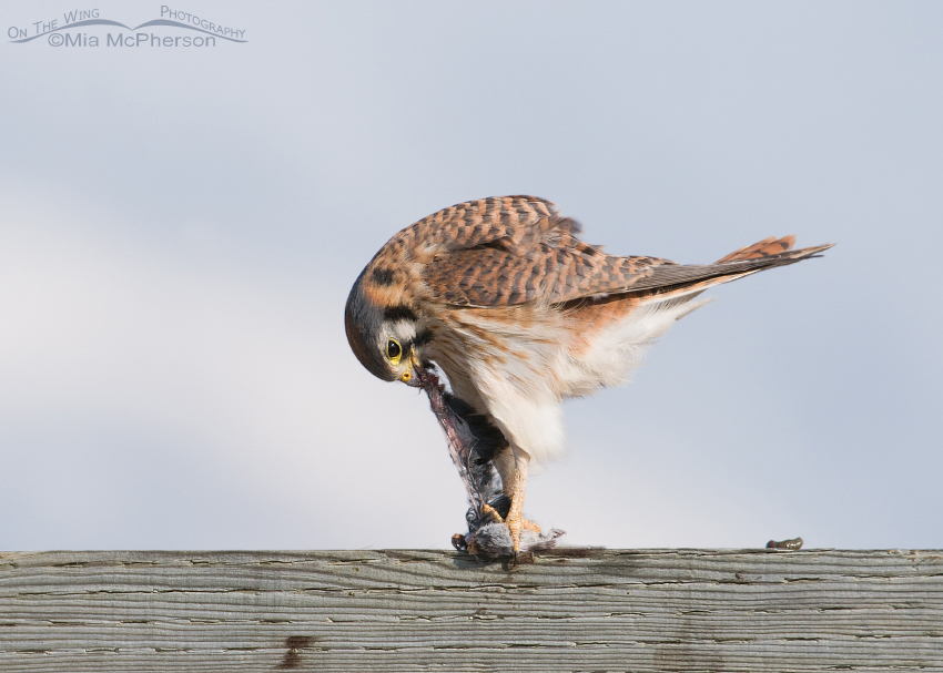 Female Kestrel putting everything into her meal