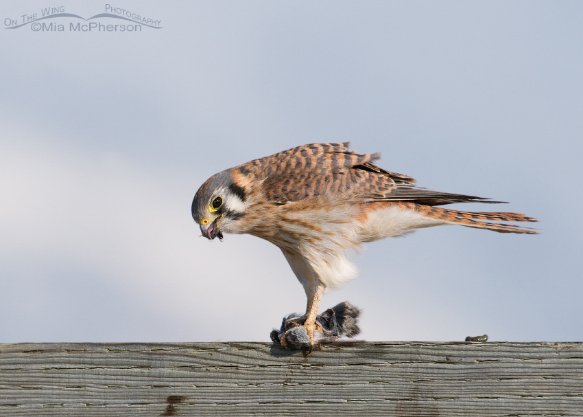 Lunch time! For an American Kestrel