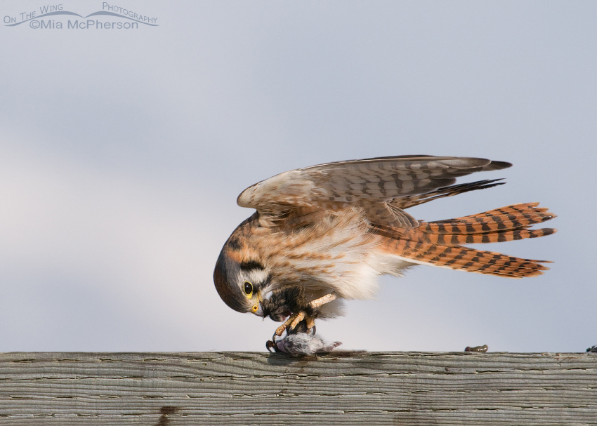 Female American Kestrel balancing in the wind