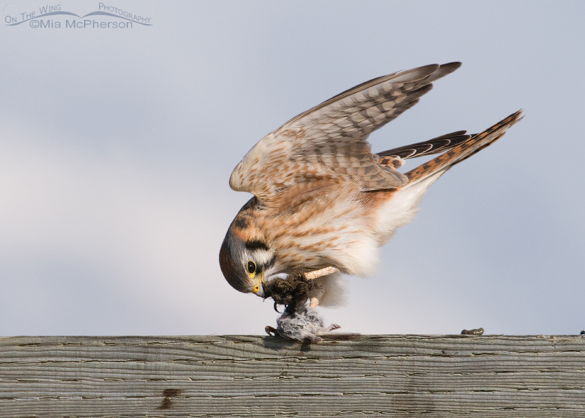 Female American Kestrel balancing while eating