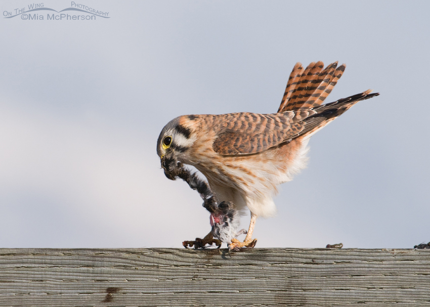 Female American Kestrel struggling in the wind