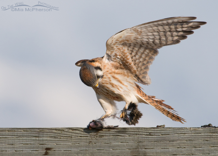 Female American Kestrel with a strong grip on her lunch