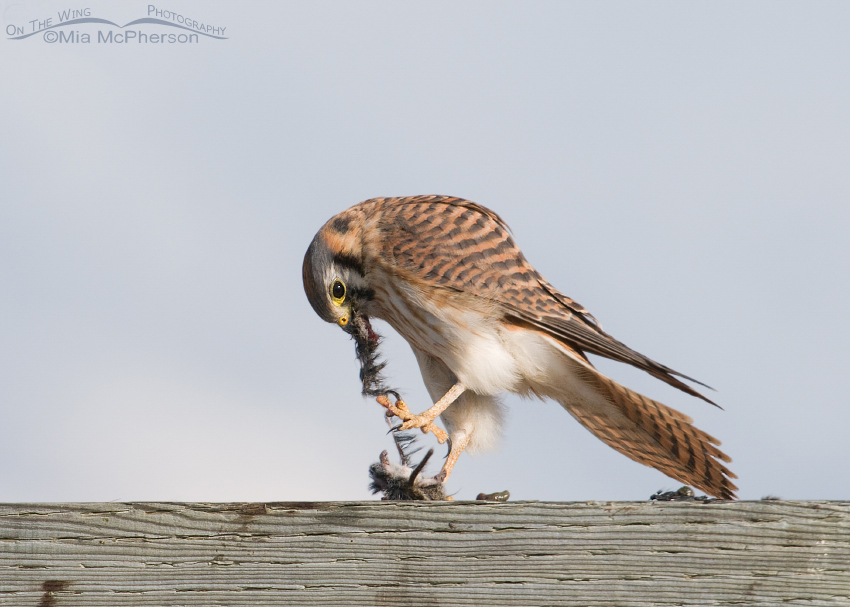 Female American Kestrel getting a grip