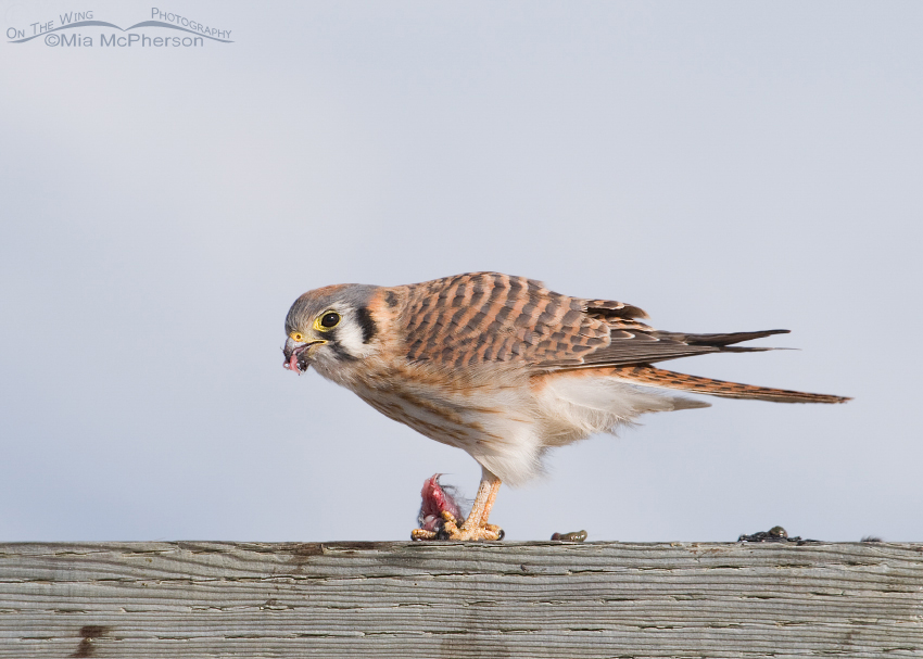 American Kestrel female downing her lunch