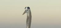 Great Blue Heron in pre-dawn light