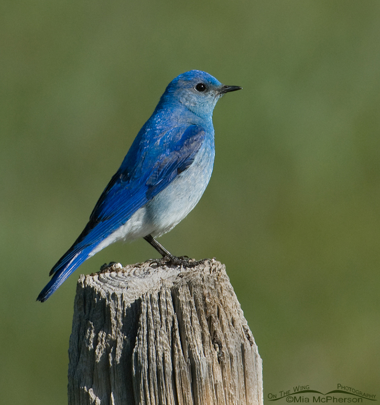 Male Mountain Bluebird, Red Rock Lakes National Wildlife Refuge, Montana