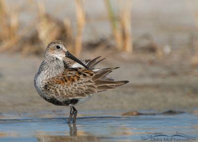 Dunlin in breeding plumage