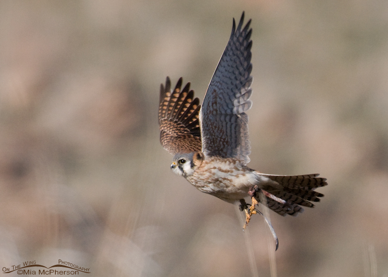 Escaped female American Kestrel with jesses