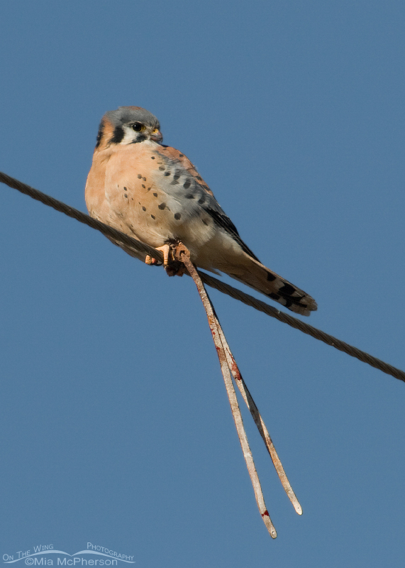Escaped male American Kestrel with jesses