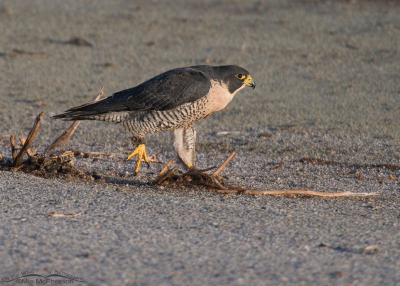 Female Peregrine Falcon with anklets
