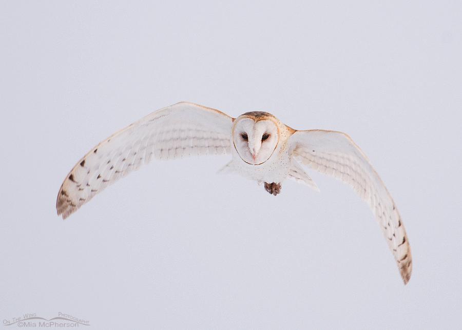 Barn Owl in flight on a foggy morning