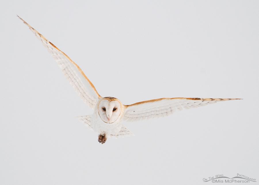 Barn Owl flying in fog