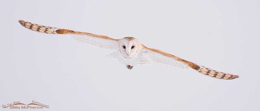 Barn Owl in flight pano