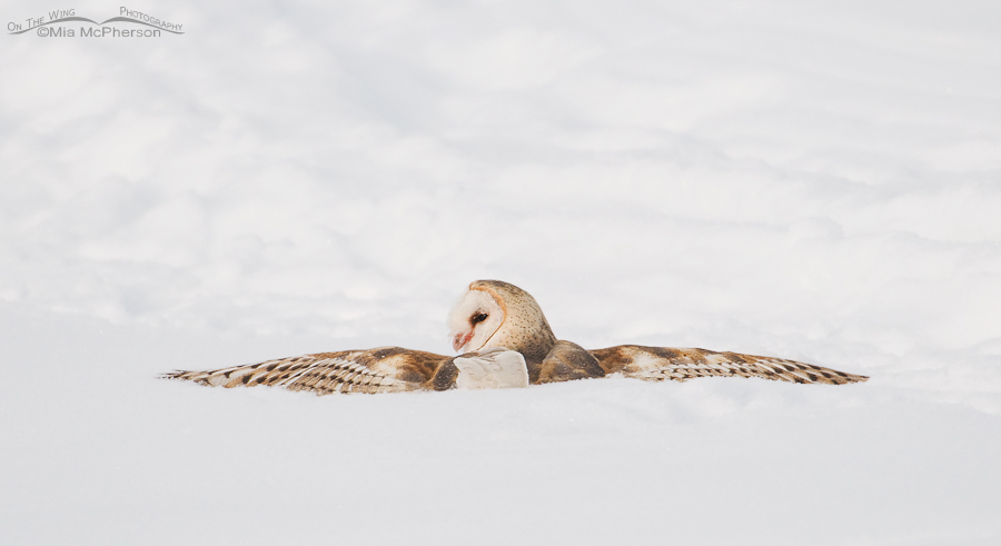 Barn Owl searching for its prey in the snow