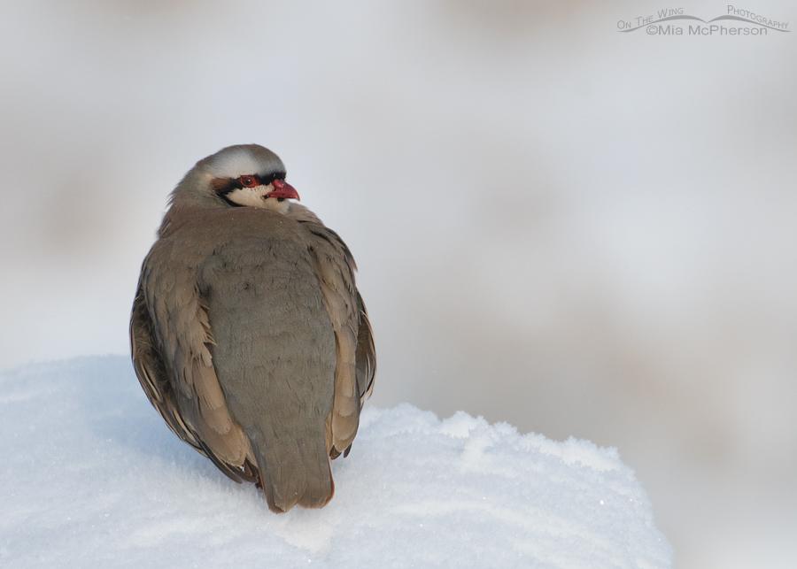 Fluffed up Chukar in snow