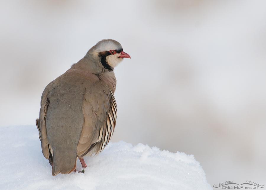 Alert Chukar in snow