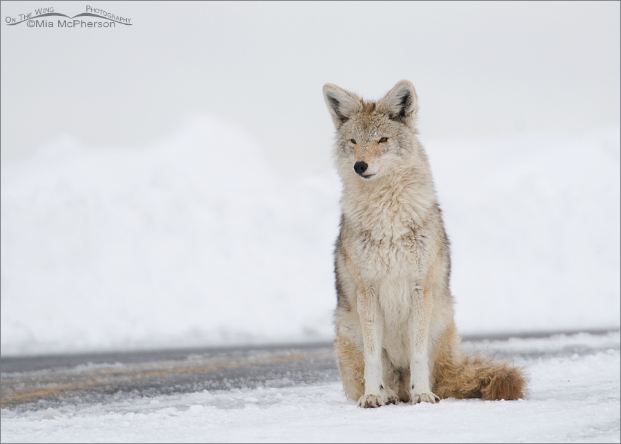 Coyote sitting on a road