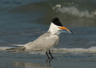 Royal Tern in breeding plumage with gift for mate