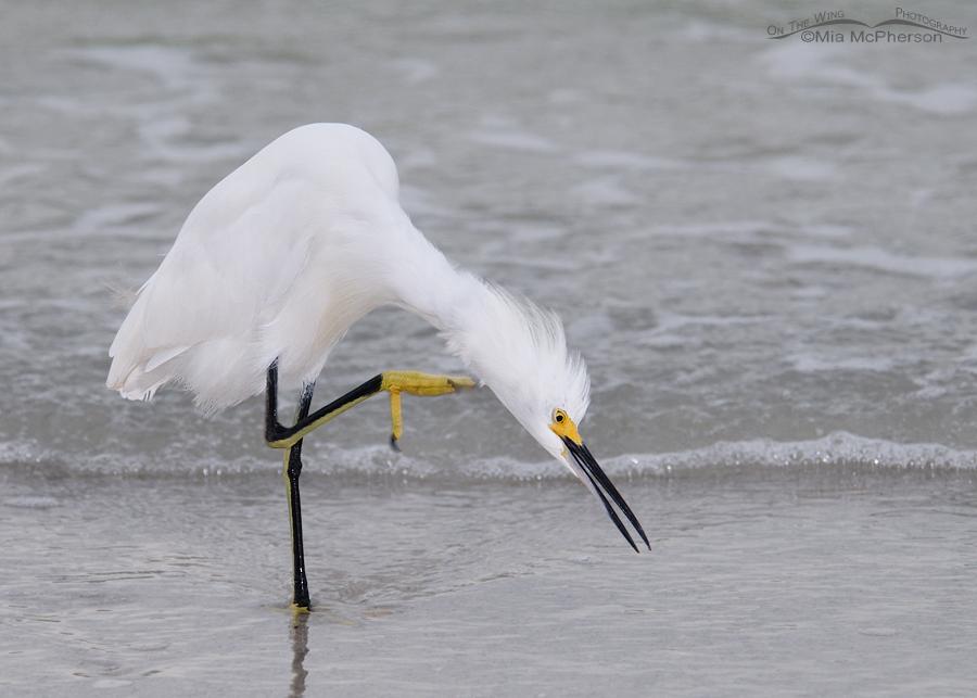 Scratching Snowy Egret