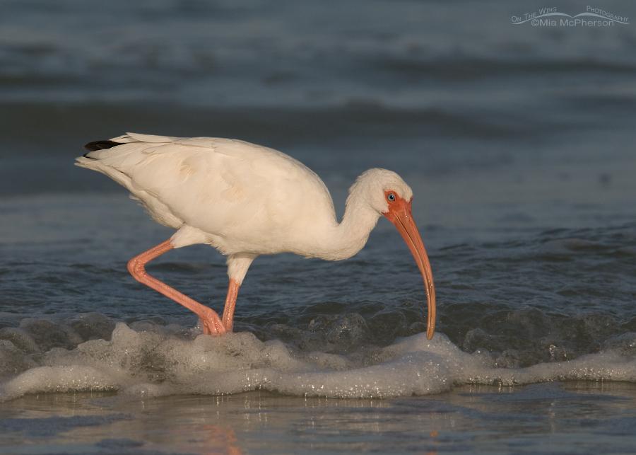 White Ibis feeding in the Gulf of Mexico