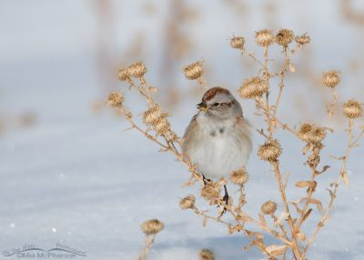 American Tree Sparrow on Antelope Island