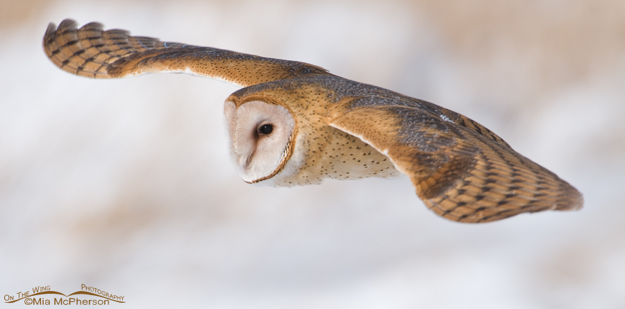 Barn Owl flying close up