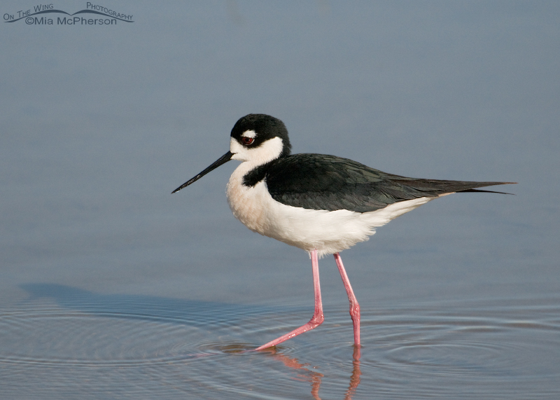 Male Black-necked Stilt