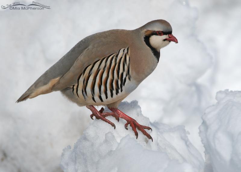 Chukar on a mound of snow