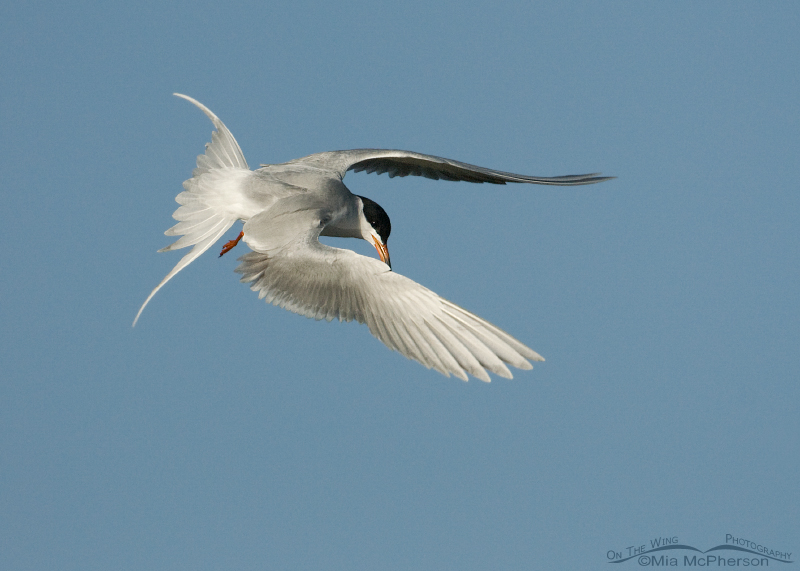 Forster's Tern in a dive over a Bear River wetland