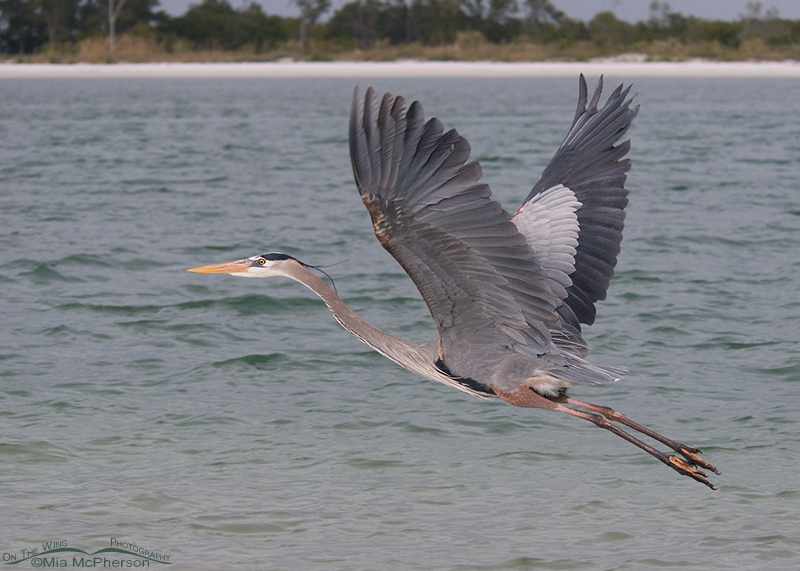 Great Blue Heron in pursuit