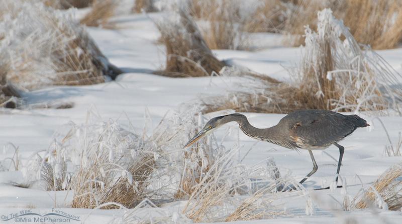 Great Blue Heron hunting voles in winter