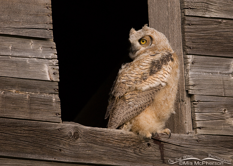 Great Horned Owl fledgling in Glacier County, Montana