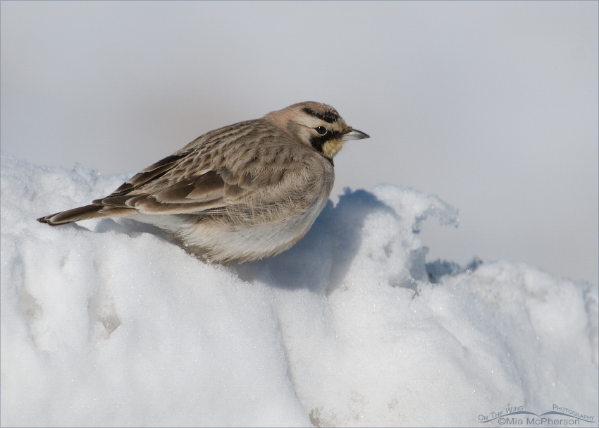 Horned Lark on a mound of snow