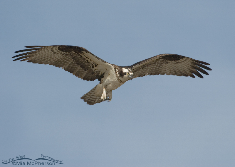 Female Osprey in flight