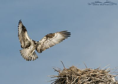 Female Osprey about to land on the nest