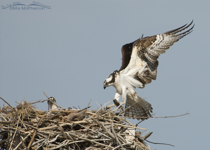 Male Osprey landing on the nest