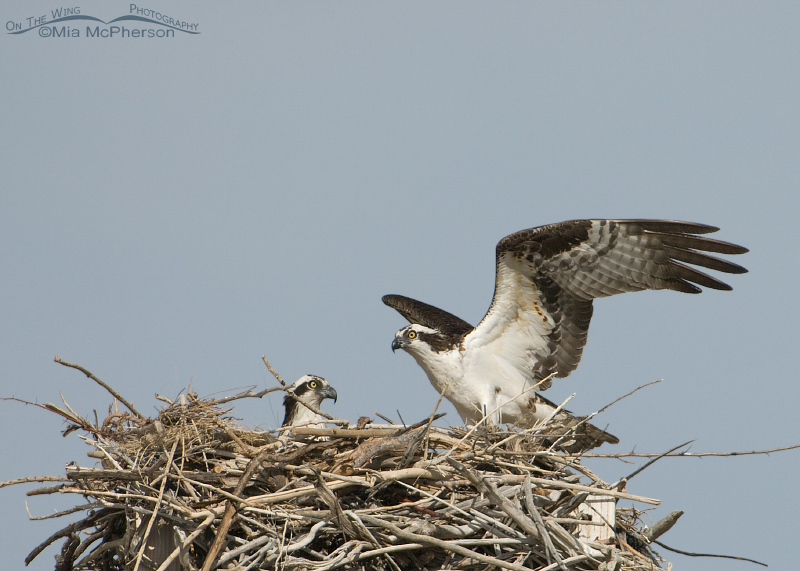 The pair of Ospreys on the nest