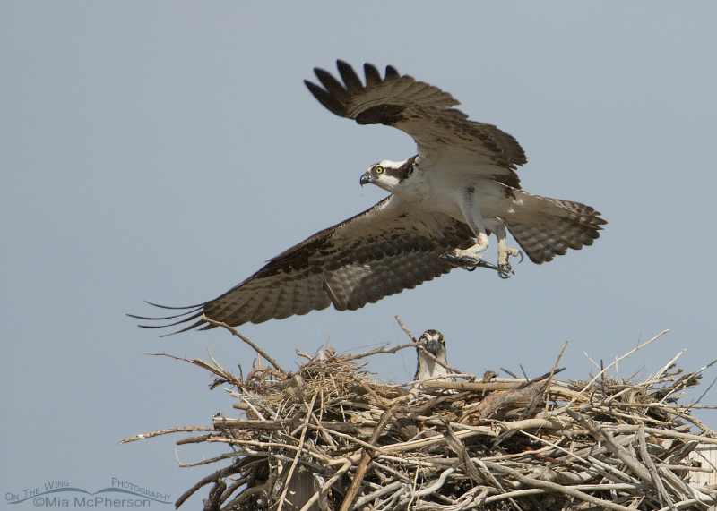 Male Osprey lifting off with his fish