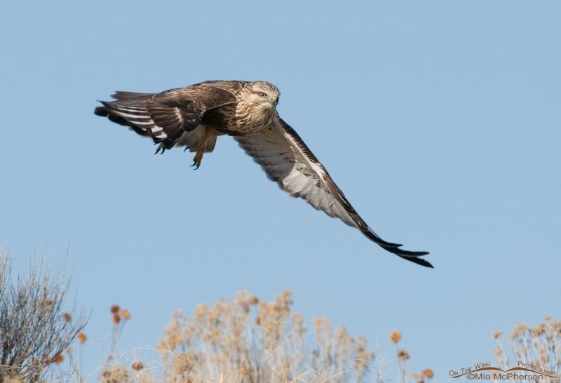 Rough-legged Hawk flying near a hill