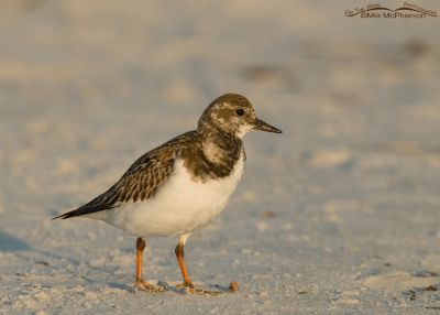 Early morning Ruddy Turnstone