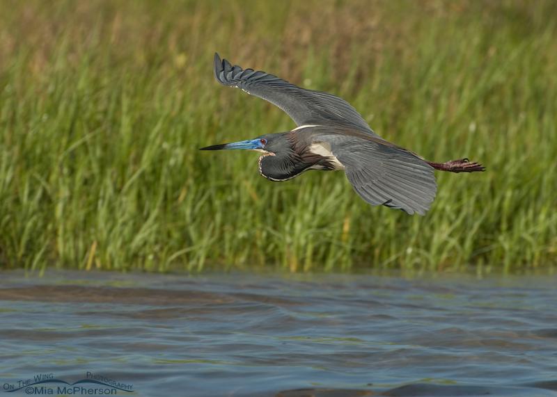 Breeding plumage Tricolored Heron in flight