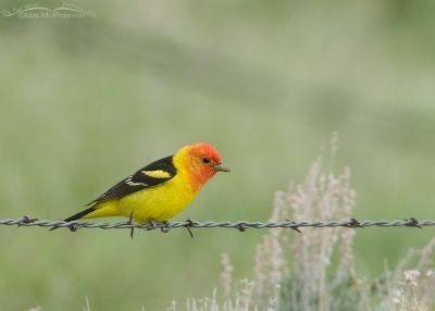 Western Tanager male in breeding plumage