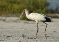 Wood Stork walking near a lagoon