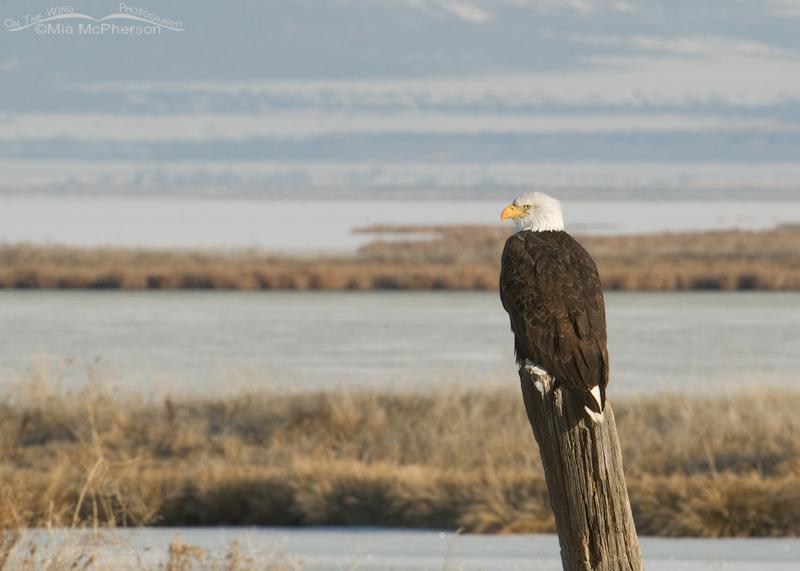 Adult Bald Eagle at Bear River National Wildlife Refuge