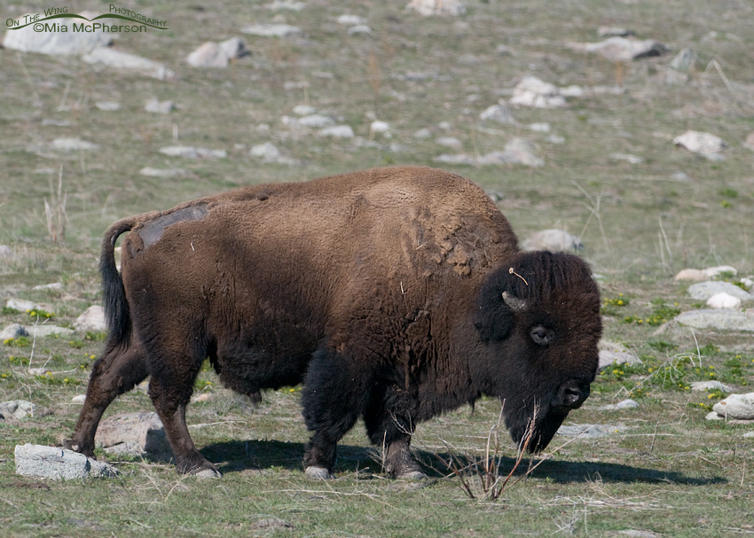 Bison Bull on Antelope Island