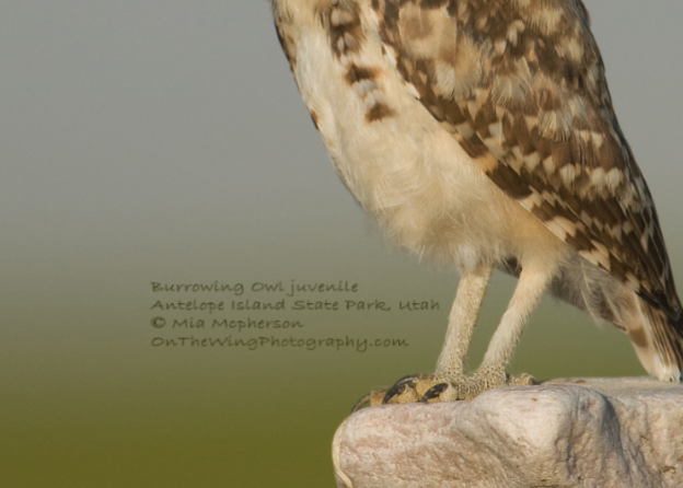 burrowing-owl-copyright