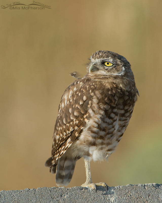 Burrowing Owl juvenile looking at something in the distance