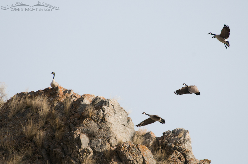 Canada Geese landing on top of a cliff